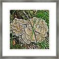 Shelf Fungus - Grifola Frondosa Framed Print