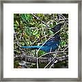 Small Blue Jay Of California Framed Print