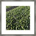 Spinach Crop Framed Print