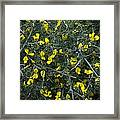 Spiny Broom (calicotome Villosa) Framed Print