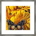 Spotted Butterfly On Yellow Mums Framed Print