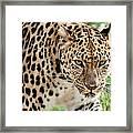 Stalking Amur Leopard Framed Print