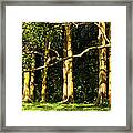 Stand Of Rainbow Eucalyptus Trees Framed Print