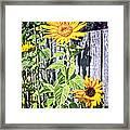 Sunflower Fence Framed Print