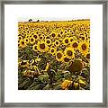 Sunflower Field Framed Print