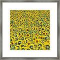Sunflowers Framed Print by Ron Smith