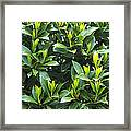 Sweet Bay (laurus Nobilis) Framed Print