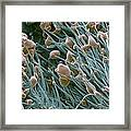 Thc Cannabis Drug Crystals Framed Print by Steve Gschmeissner