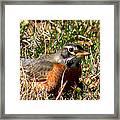 The Robin Stare Framed Print