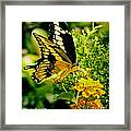 Thoas Swallowtail #1 Framed Print
