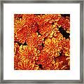 Toasted Orange Chrysanthemums Framed Print