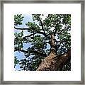 Towering Oak In Summer Framed Print