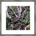 Triplet Trees Framed Print by Beverly Hammond