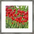 Tulips Galore Framed Print