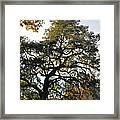Twisted Oak Framed Print