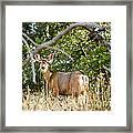 Utah Mule Deer Framed Print