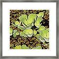 Water Lettuce Framed Print
