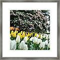 White And Yellow Tulips Framed Print