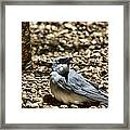 White-bellied Cuckoo-shrike Framed Print