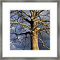 White Oak And Storm Clouds Framed Print by Thomas R Fletcher