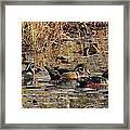 Wood Duck Trio Framed Print