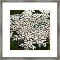 Yarrow Plant Flower Head  Framed Print
