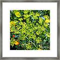 Yellow Firework Or Dill In Its Glory Framed Print