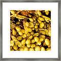 Yellow Kelp Pods Framed Print