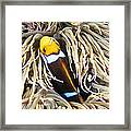 Yellowtail Anemonefish In Its Anemone Framed Print