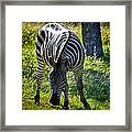 Zebra At Close Range Framed Print by Kelly Rader