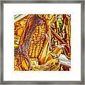 Field Corn Ready For Harvest Framed Print