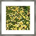 Ginkgo Biloba Leaves Framed Print