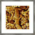 Human Feces Containing Bacteria Framed Print