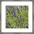 Lavender Scent Framed Print