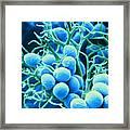 Peronospora Parasitica Framed Print by Biophoto Associates and Photo Researchers