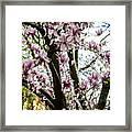 Saucer Magnolias In Central Park Framed Print