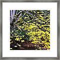 Sugar Maple Birch River Framed Print