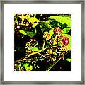 Summer Rams Framed Print