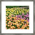 Tulips Galore  Framed Print