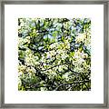 Vermont Apple Blossoms Framed Print