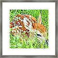 White-tailed. Virginia Deer Fawn Framed Print