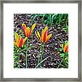 2016 Mid May Meadow Garden Tulips Framed Print