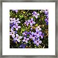 Bluets Framed Print