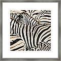 Burchells Zebras Equus Quagga Framed Print