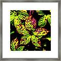 Summer Rams Framed Print