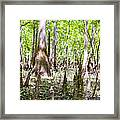 cypress forest and swamp of Congaree National Park in South Caro Framed Print