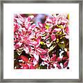Pink Cherry Flowers Framed Print