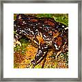 Rosy Ground Frog Framed Print