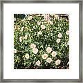 A Beautiful Rose Bush Castle Park 6 Framed Print