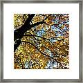 A Falling Maple Leaf Framed Print